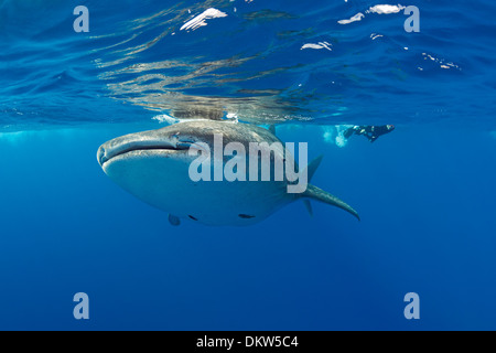 whale shark, Rhincodon typus, with remoras attached to underside, and snorkelers pursuing above, Kona Coast, Hawaii Island