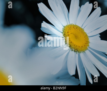 FLORAL CONCEPT: White Daisy (lat: Leucanthemum vulgare inflorescence)