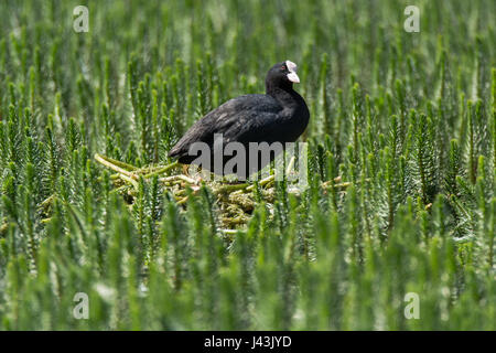 Coot (Fulica atra) standing on nest amongst aquatic vegetation. Black water bird in the family Rallidae on nest constructed of plant material