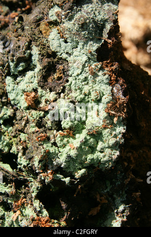 Green Fungus or Lichen on a Decaying Tree Stump.