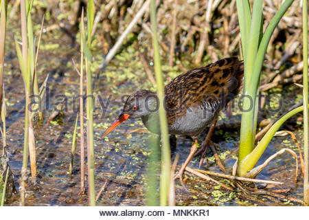 A secretive Water Rail, forages in a dense reed bed in Somerset, UK