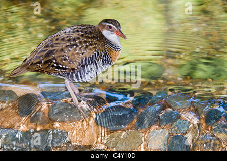 Buff-banded rail (Gallirallus philippensis) in the Cairns Tropical Zoo
