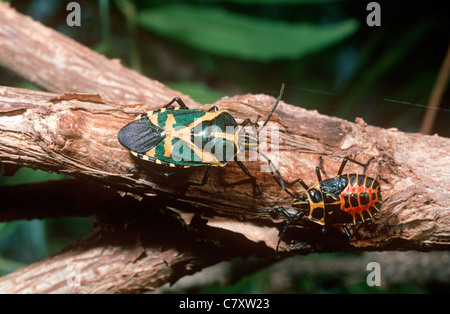 Shield or stink bug (Agaeus bicolor: Pentatomidae) adult and nymph in tropical dry forest, Madagascar
