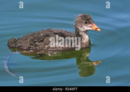 young or immature specimen of eurasian coot, fulica atra, rallidae