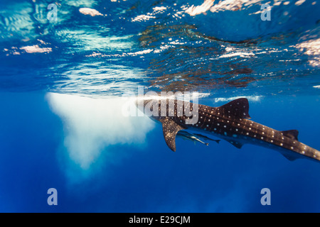 Close-up underwater view of whale shark with two small babies close by underneath it (Rhincodon typus)about to break water surfa