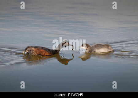 An adult Eared grebe (Podiceps nigricollis) feeds its young a leech on Whitewater Lake in Whitewater Lake Wildlife Management