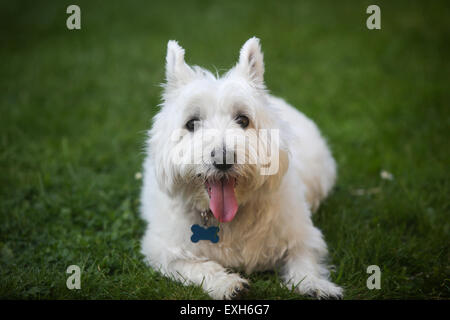A White West Highland Terrier pictured in the garden