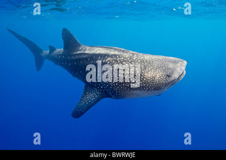 Whale shark, largest living fish species