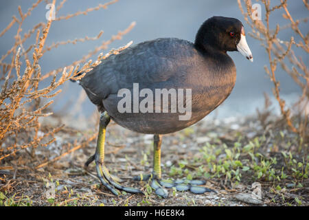 American Coot - Fulica Americana, close-up