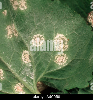 White blister rust Albugo candida on honesty Lunaria annua leaf