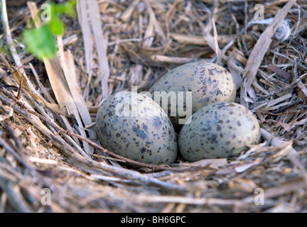 Herring Gull eggs on the nest.