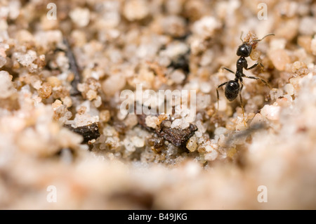 Tiny ant buidling nest grain by grain
