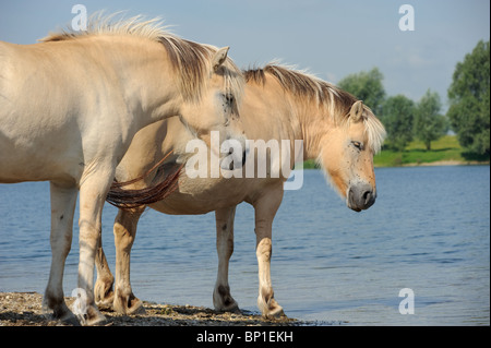 Fjord horses on the shore of a lake