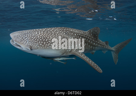 Whale Shark (Rhincodon typus) adult, with remoras, swimming, Cenderawasih Bay, West Papua, New Guinea, Indonesia, June