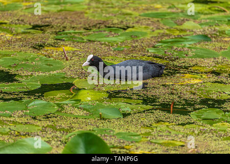 Coot on bed of waterlilies