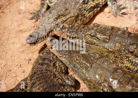 Nile Crocodile, Crocodylus niloticus, Crocodylidae.