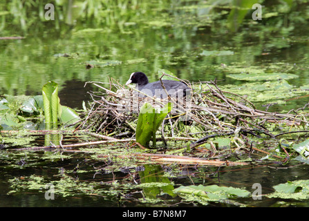 Coot, Fulica atra, Rallidae, Sitting on a Nest
