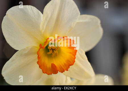 Spring flowers white Narcissus daffodil bunch flowers