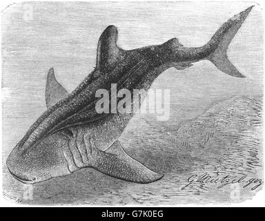 Whale shark, Rhincodon typus, illustration from book dated 1904