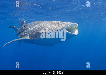 A whaleshark, Rhincodon typus, swims close to a bagan or traditional fishing vessel where it has come to be fed by the fishermen