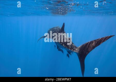 Whale shark (Rhincodon typus) swimming at the surface with black jacks (Caranx lugubris) in the eastern Pacific Ocean, Mexico, color