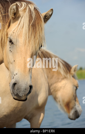 Fjord horse looking into the camera