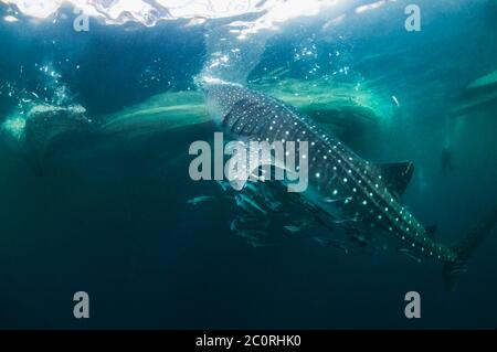 Whale shark [Rhincodon typus] with a large number of Remoras.  Attracted to the fishing nets with small fish under traditional bagan fishing platform.