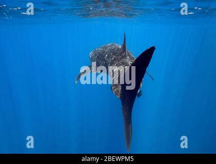 View from behind of whale shark (Rhincodon typus) swimming at the surface in the eastern Pacific Ocean, Mexico, color