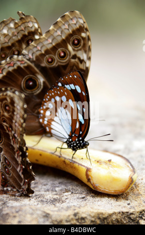 Blue and Brown Tropical Butterfly Feeding on a Banana