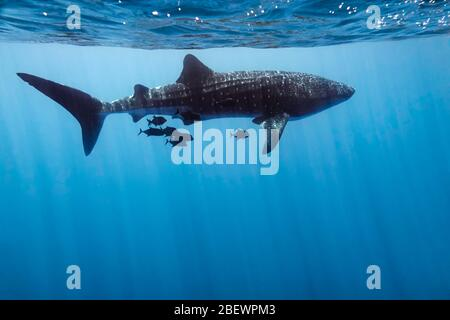 Profile of a whale shark (Rhincodon typus) and attendant black jack fish swimming in the eastern Pacific Ocean, Mexico, color
