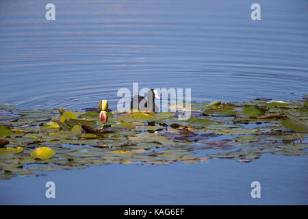 Coot Fulica atra swimming among lilies on a calm blue freshwater lake