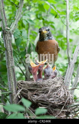 American Robin perched at Nest with Fledglings - Vertical