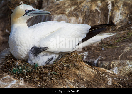 Adult Gannet and chick on nest