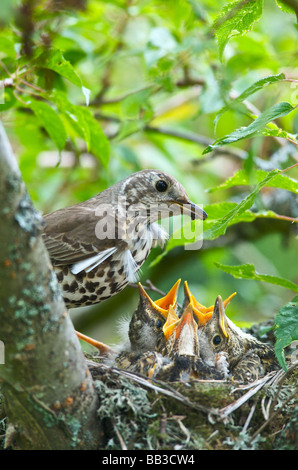 A Thrush Turdus ericetorum feeding four fledgling baby chicks in her nest in a cherry tree in Sussex