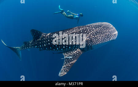 whale shark feeding I the blue waters off Nosy Be. Madagascar