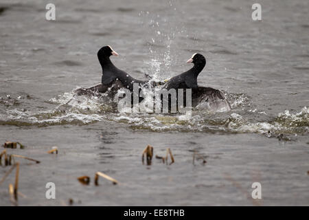 Coot fighting