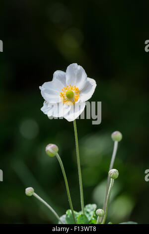 Picture of white anemone flower against dark background