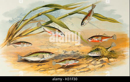 Sticklebacks - Rough-tailed, half-armed, smooth-tailed, short-spined, four-spined, ten-spined