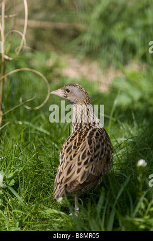 Corncrake at the edge of a field