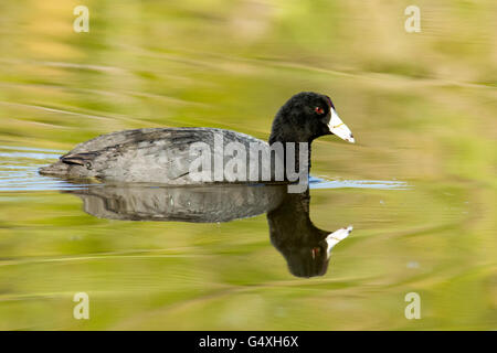 American Coot - Camp Lula Sams, Brownsville, Texas, USA