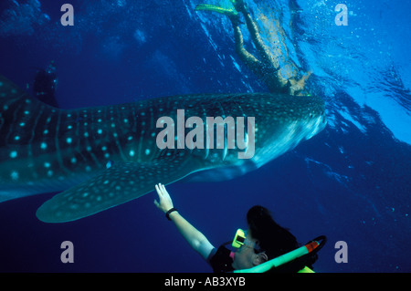 Whale shark Rhincodon typus with scuba diver Red Sea Egypt