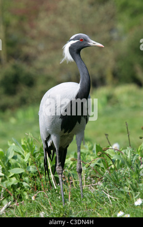 Demoiselle Crane or Lovely Lady Crane, Anthropoides virgo, Gruidae, Gruiformes.