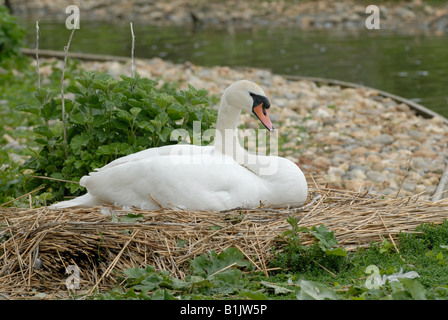 Mute swan pen on a nest with eggs at Abbotsbury Swannery