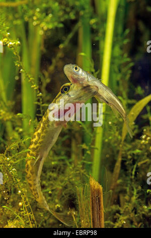 pike, northern pike (Esox lucius), feeds small chub, Germany