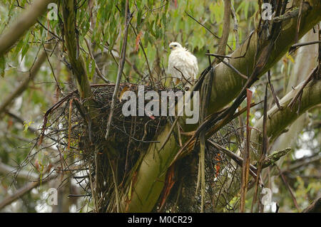 Grey (White)Goshawk