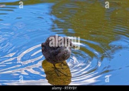 Young common moorhen in a water. Gallinula Chloropus - bird species in the family Rallidae