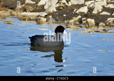 American Coot Swimming near Shore on Pond in Clark County, Indiana