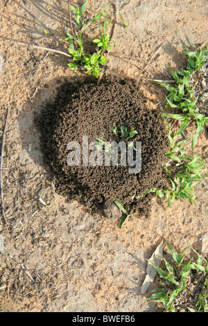 Ground Burrowing Wasp Nest, Hluhluwe, South Africa