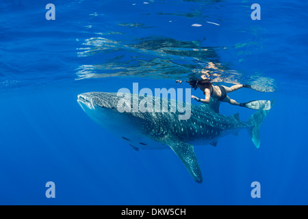whale shark, Rhincodon typus, with remoras attached to underside, and snorkeler, Kona Coast, Hawaii Island, Pacific Ocean