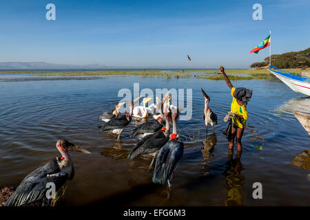 A Local Boy Feeds Marabou Storks and Pelicans With Fish Pieces, Lake Hawassa, Hawassa, Ethiopia